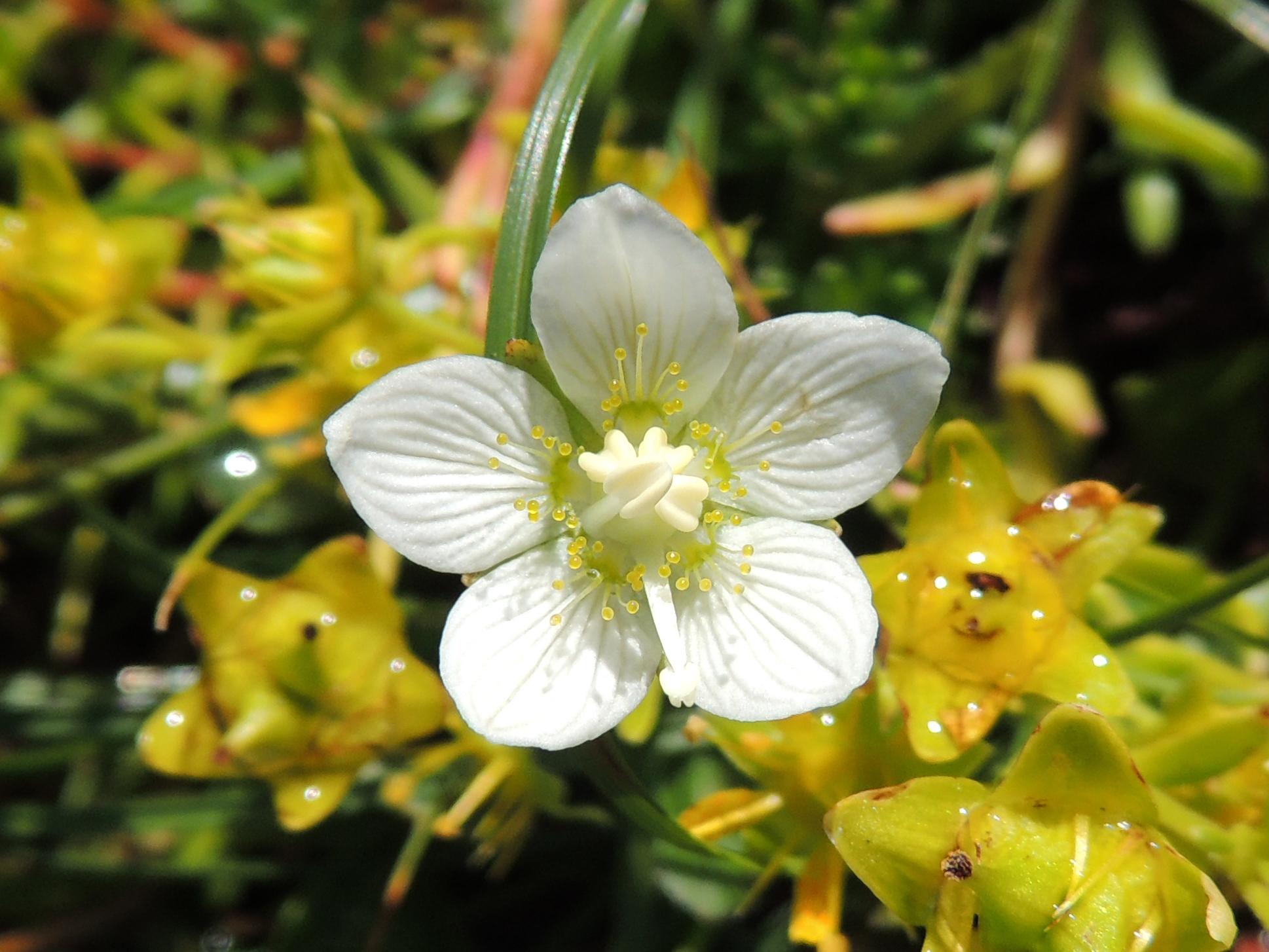 Sumpfherzblatt - Parnassia palustris