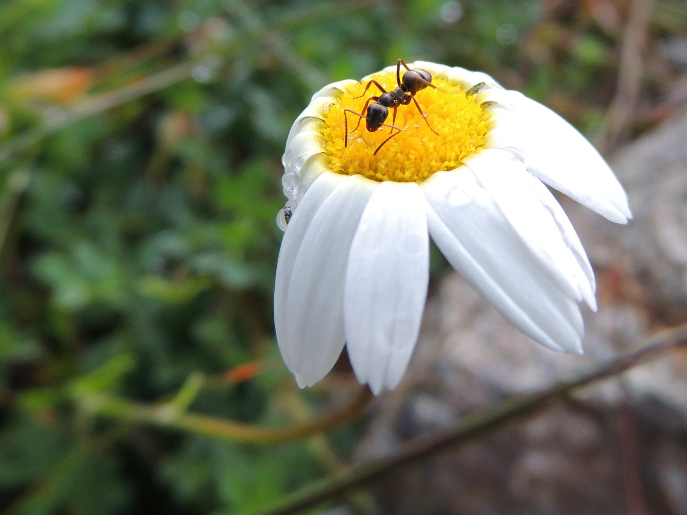 Ameise auf Margerite