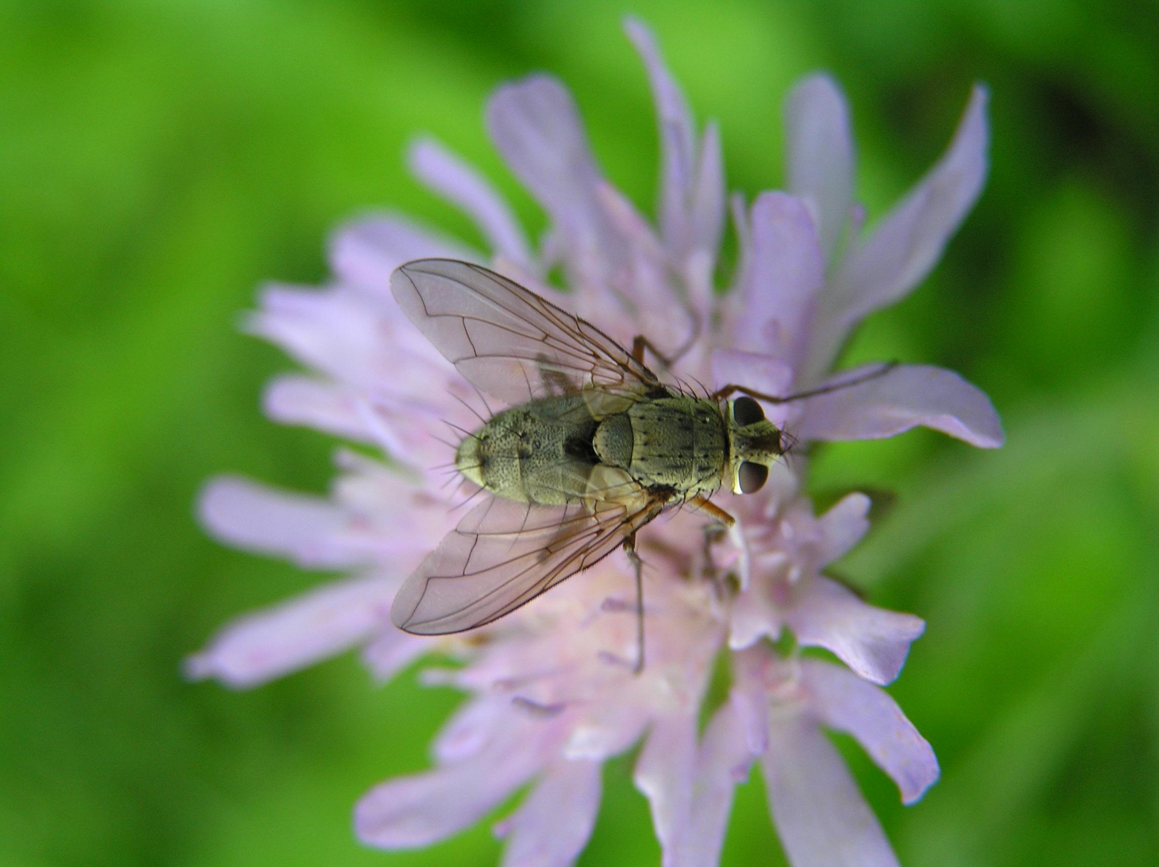 Fliege auf Witwenblume