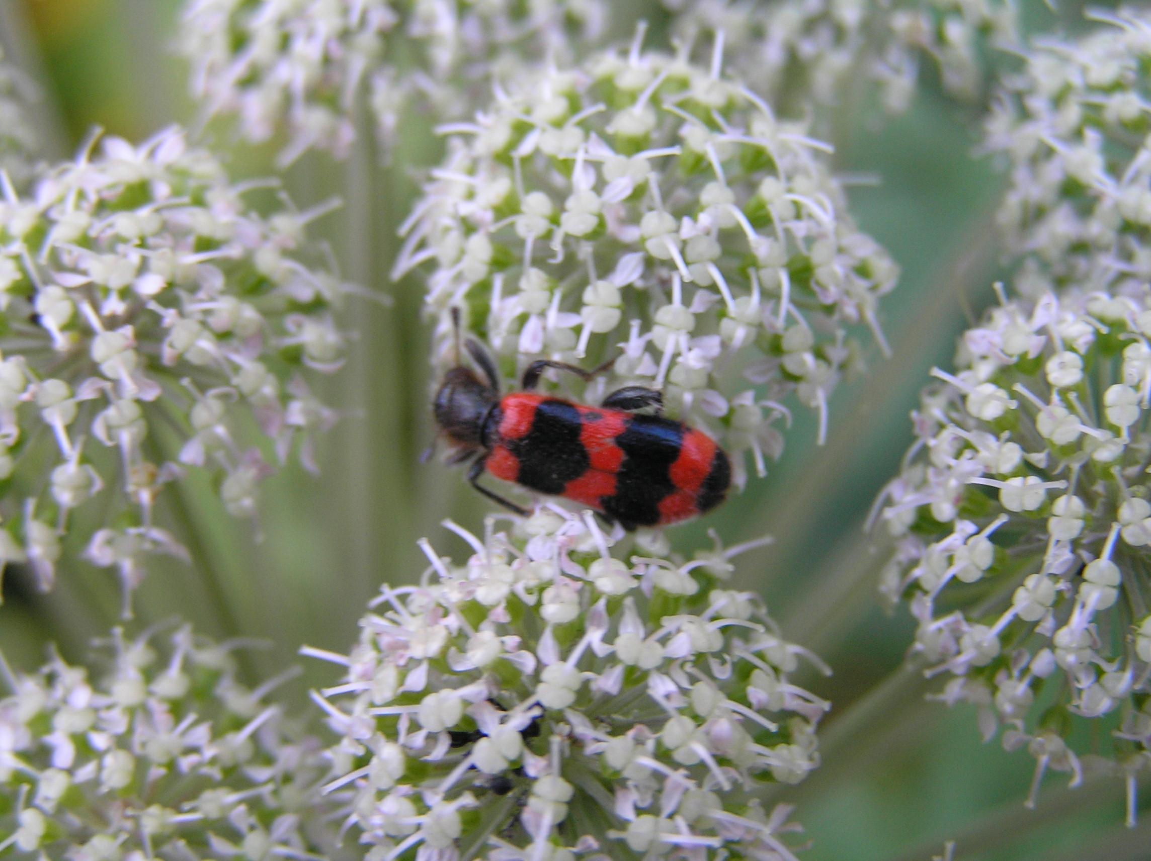Bienenbunt-Käfer