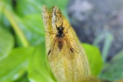 Fliege auf getüpfeltem Enzian