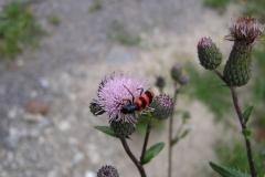 Bienenbunt-Käfer auf Distel