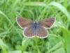 Cupido minimus - der kleinste Bläuling - Foto: Clemens M. Brandstetter
