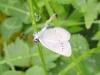 Cupido minimus - der kleinste Bläuling - Unterseite - Foto: Clemens M. Brandstetter