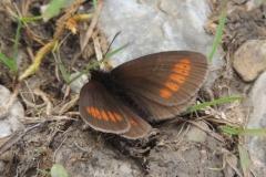 Mohrenfalter - Erebia melampus