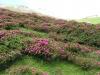 Alpenrose - Almrausch