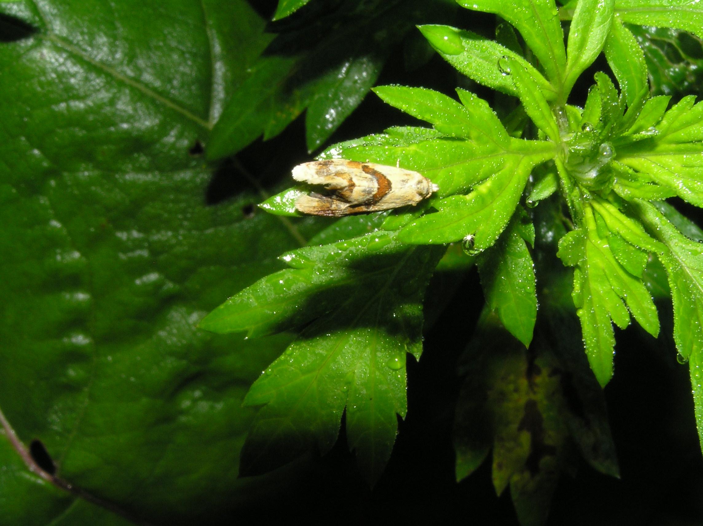 Klein-Schmetterling