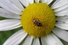 Wanze (Miridae)