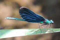 Blauflügel Prachtlibelle - Calopteryx