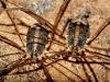 Nelima semproni (Weibchen)